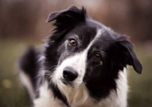 Border collie on a farm