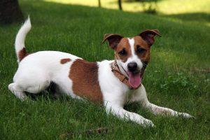 Jack Russel Terrier on a farm