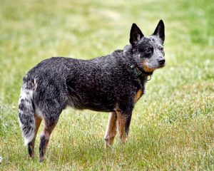 The Australian cattle dog on a farm