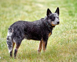 The Australian cattle dog on a farm