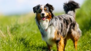 The Australian shepherd on a farm
