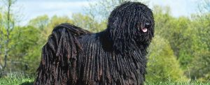 The Puli on a farm