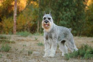 The Standard Schnauzer on a farm