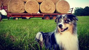 farm dog breeds